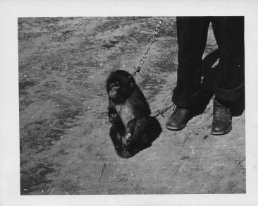 Mona, the pet monkey, 48th MASH, Korea, March, 1954