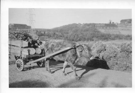 Ox and wagon, Tokyo, 1953