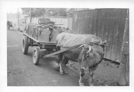 Honeybuckets and ox, Tokyo, 1953