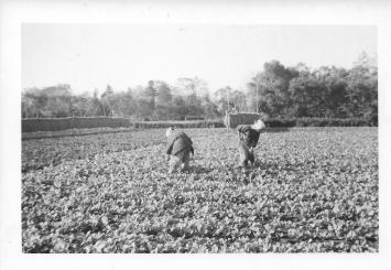 Women at work in fields, Tokyo, 1953